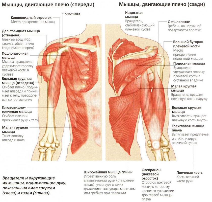 анатомия плечевого сустава и мышц плеча видео